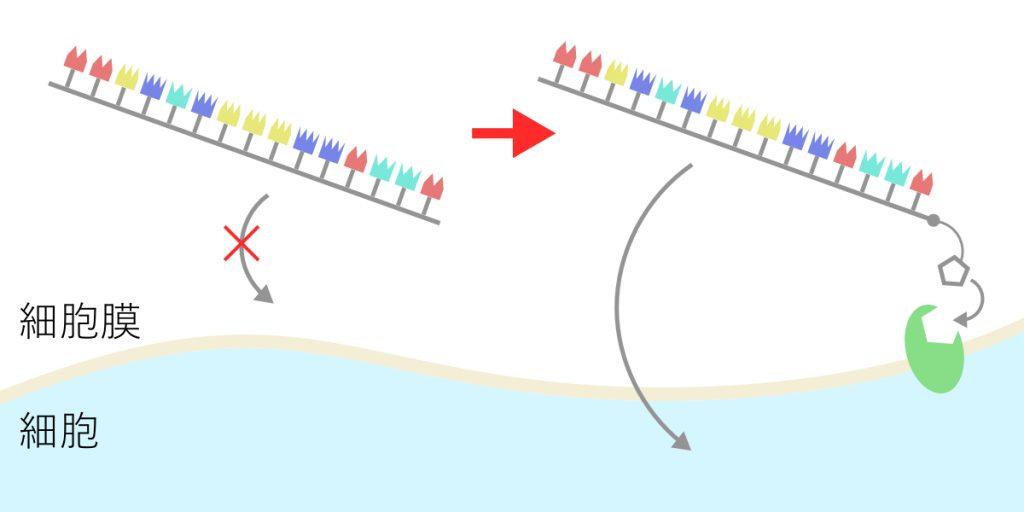細胞膜を通過する核酸の設計